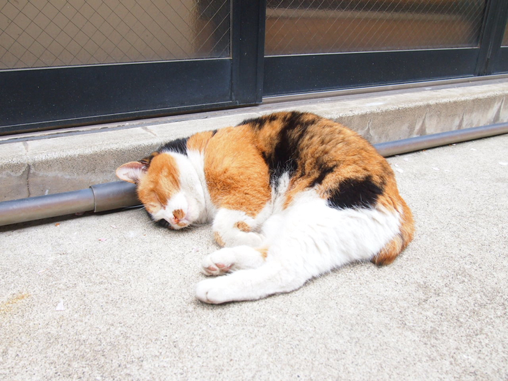ザ三毛猫。 めちゃめちゃ人懐っこくて、初回キュン死にしました。
