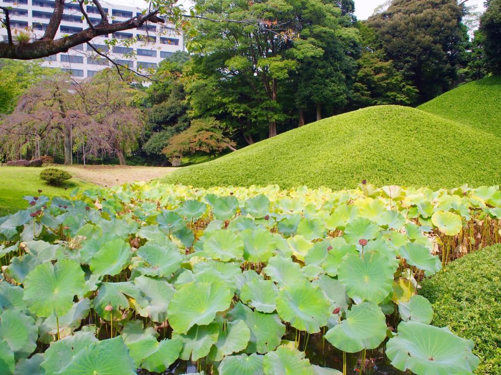 蓮池もありました。蓮の花を見れるのは初夏の朝ですので、約一年後ですね。