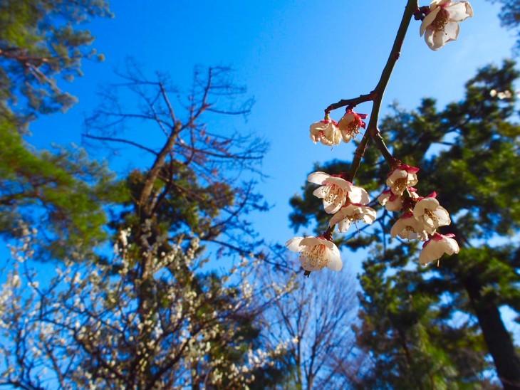 梅の花がちらほら咲いてました。もう春ですね。
