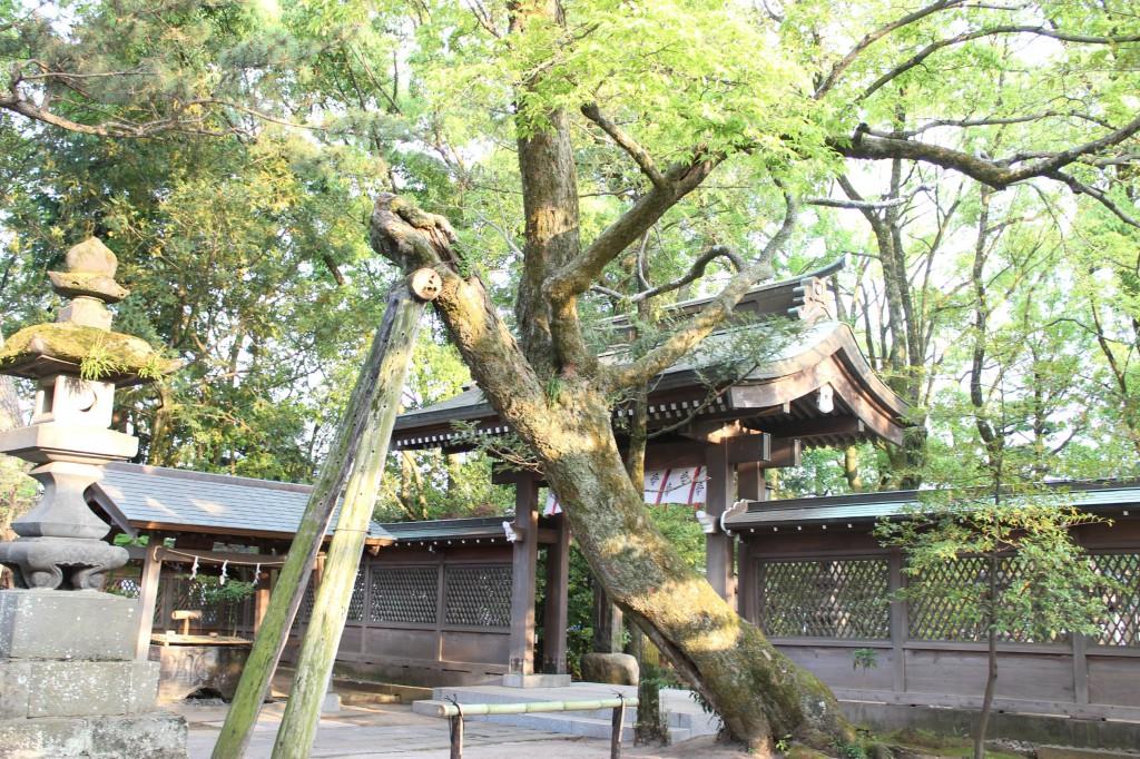 椋(むく)の大木はとても大きい
