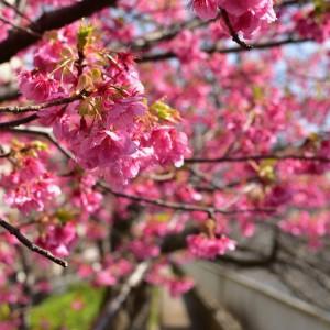 春には桜の咲き誇る街、清澄白河。