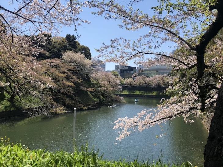 満開の時の桜は、もっともっと綺麗です