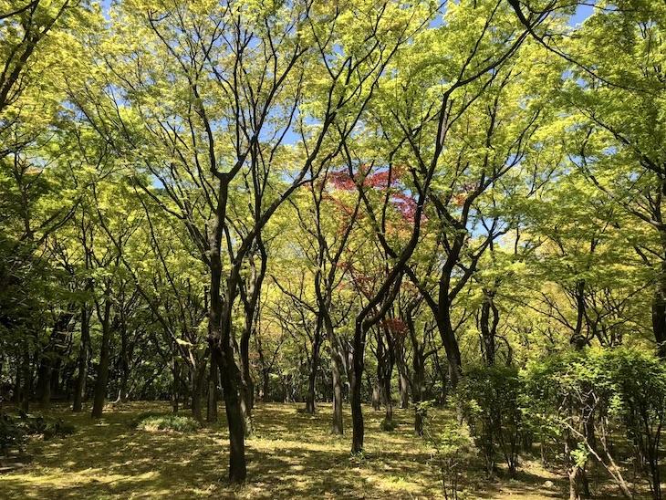 京都にも負けない紅葉林。秋には真っ赤に。