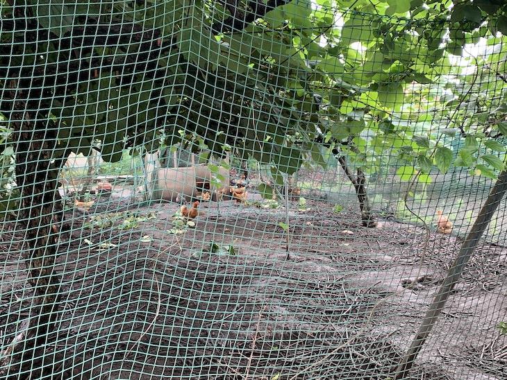 広大なキウイ畑に鶏が放し飼いにされている!